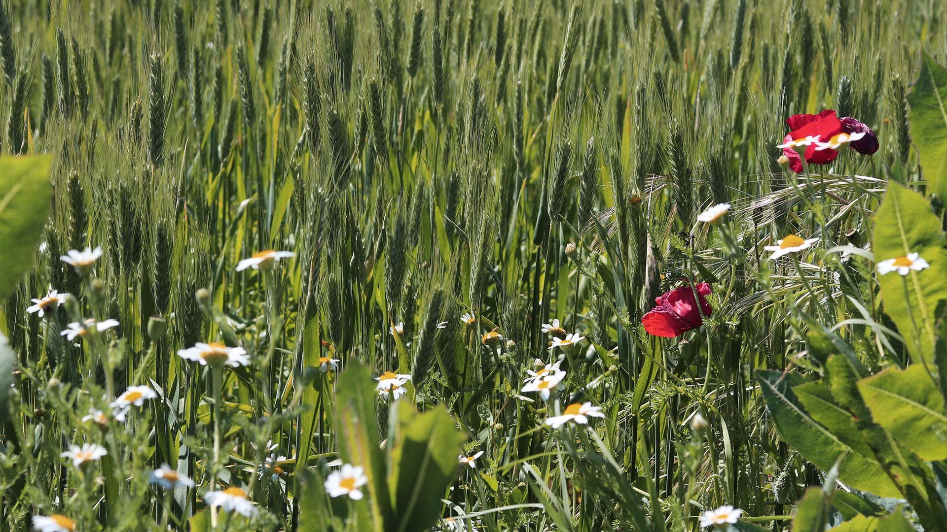 Flores silvestres en la Ribera Alta del Ebro