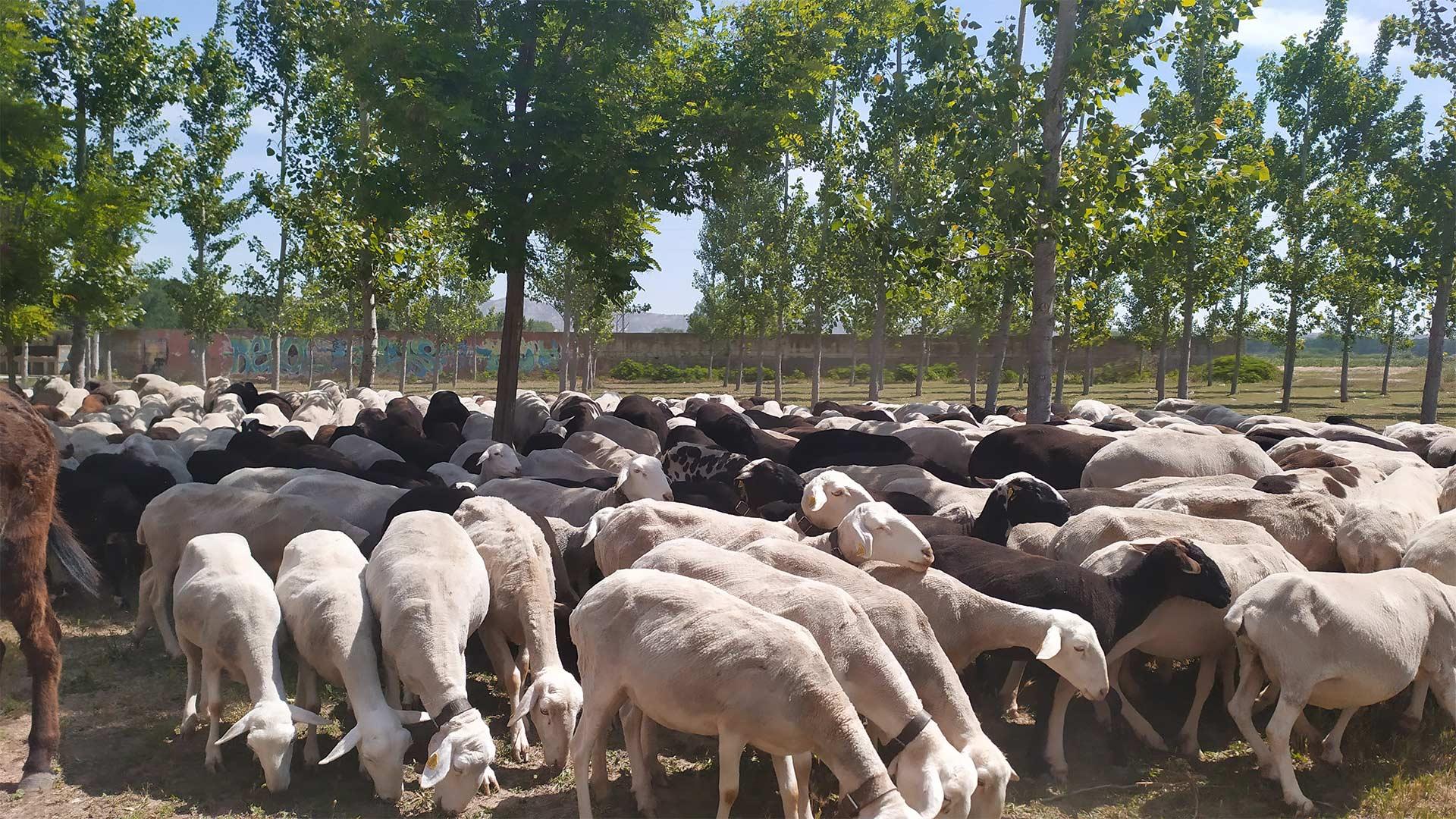 Ovejas pastan en los campos de Alcalá, en la Ribera Alta del Ebro
